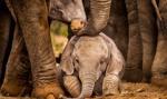 Tajemnicze zgony setek słoni w Botswanie. Ustalono przyczynę
