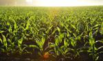 12 mln zł z UE na budowę polskiego robota do uprawy kukurydzy