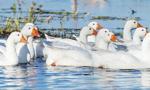 Ostrzeżenie dla Europy Wschodniej przed grypą ptaków. Może spowodować milionowe straty