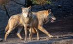 Rolnicy dostali fladry do ochrony stad przed wilkami