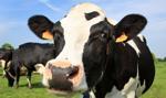 Surowe kary za przekroczenie kwot mlecznych
