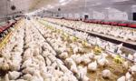 Pierwszy od 3 lat przypadek ptasiej grypy na Ukrainie, drugi na Słowacji