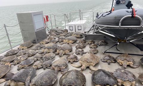 Rekordowe mrozy w Teksasie. Mieszkańcy ratują przed zimnem tysiące żółwi morskich