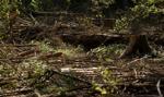 Minister Kowalczyk polecił uchylenie decyzji ws. usuwania drzew w Puszczy Białowieskiej