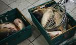 Sieci handlowe wycofują się ze sprzedaży żywych karpi