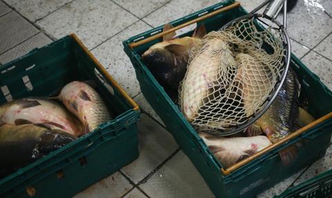 Piekarska: Już nie będzie możliwe transportowanie karpi w torebkach foliowych