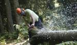 NIK krytykuje gminy za wycinkę drzew