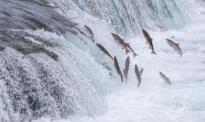Łososie warte miliardy. W USA giną ich setki tysięcy, a ceny ryby gwałtownie rosną