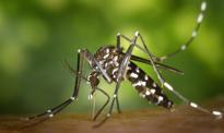 Komar tygrysi zbliża się do Polski