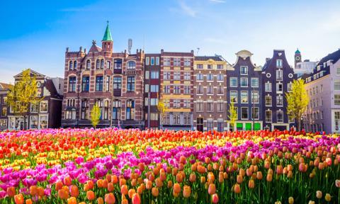 Tulipany z Holandii coraz droższe