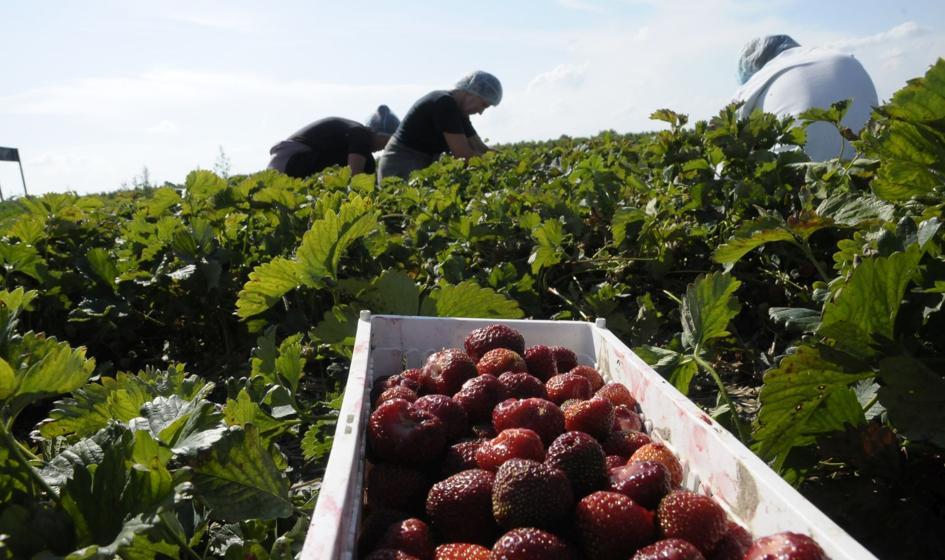 Polska światowym producentem truskawek. Ale też je importuje
