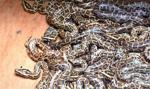 Rekordowa konfiskata 138 pytonów w porcie w Ankonie