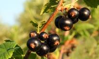 Producenci: Polska straci światowy prymat w produkcji porzeczek