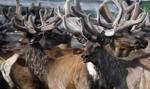 Plany wybicia 250 tys. reniferów na Syberii z powodu wąglika