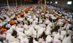 GIS zaleca środki ostrożności w związku z wykryciem ognisk ptasiej grypy