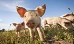 W białoruskiej kiełbasie Rosjanie wykryli genom pomoru świń
