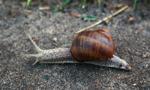 Zły sezon na ślimaka