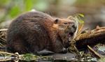 Ardanowski: Bobry mogą trafić na listę zwierząt łownych