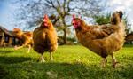 Polki mieszkające we Francji o wczesnej godzinie policyjnej: kładziemy się spać z kurami