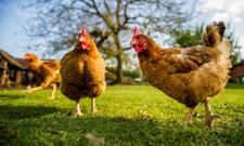 Polki we Francji: kładziemy się spać z kurami