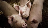 Polska wieprzowina podbija zagraniczne rynki