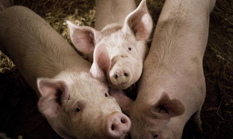 """Niskie ceny skupu wieprzowiny przez epidemię. """"Sytuacja jest dramatyczna"""""""