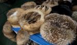 Chojnicki: Branży hodowców zwierząt futerkowych grozi likwidacja