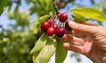 Ukraińcy chętnie pracują w Polsce, m.in. przy zbieraniu owoców
