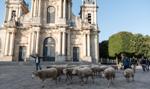 Redyk w luksusowej dzielnicy Paryża. Owce w roli ekologicznych kosiarek