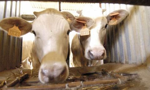 CBOS: 63 proc. Polaków za zakazem uśmiercania zwierząt bez ogłuszenia