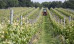 W Polsce produkcją wina zajmuje się 295 podmiotów