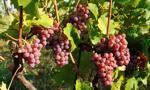 Winogrona we Włoszech słuchają Mozarta
