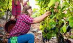Włosi ruszają do pracy w rolnictwie, zastąpią zagranicznych pracowników