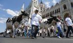 Węgry: producenci mleka maszerowali wraz z 50 krowami pod siedzibą Orbana