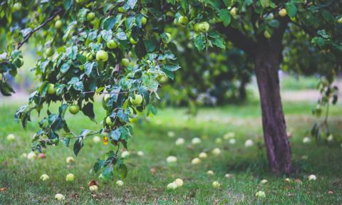 Spór o zbieranie owoców w parku na Żoliborzu