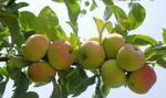 Jurgiel: Jesteśmy przygotowani na eksport jabłek do Chin