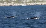 Hiszpania: agresywne orki atakują i uszkadzają statki