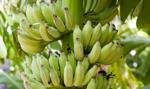 Portugalia: banany w promocji, kokaina gratis