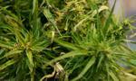 Krakowscy policjanci zabezpieczyli ponad 60 kilogramów marihuany