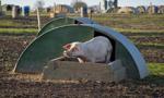 ASF zagraża całej branży wieprzowiny w Polsce