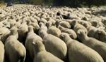 Mongolia da Chinom 30 tys. owiec w ramach pomocy w związku z epidemią