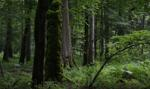 Puszcza Białowieska: dla bezpieczeństwa wycięto 7 tys. drzew