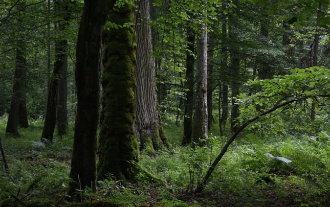 Ekolodzy: Nie da się jednocześnie chronić i eksploatować Puszczy Białowieskiej