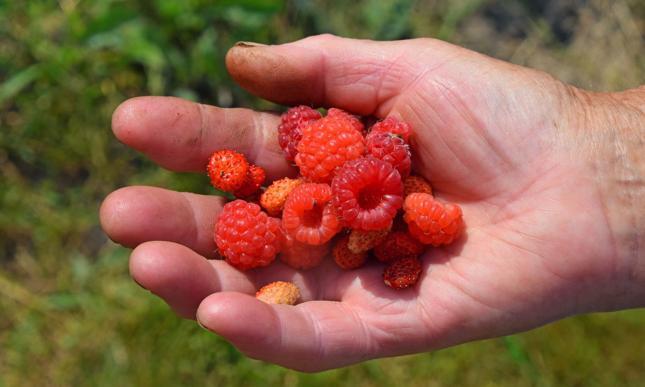 UOKiK sprawdza Südzucker Polska i sytuację na rynku owoców miękkich