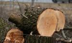 Sejm za przywróceniem kar za wycinanie drzew na terenach zabytkowych