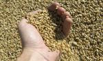 Maleje podaż ziarna zbóż. Rolników nie zadowalają ceny