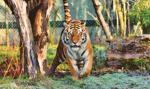 Izba Reprezentantów za ograniczeniami w hodowli tygrysów