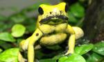 Chińscy celnicy udaremnili przemyt toksycznych żab z Polski