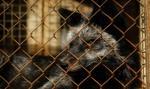 Francja wprowadza zakaz hodowli norek na futra