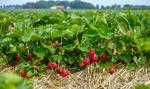 Polskie truskawki nadal bardzo drogie